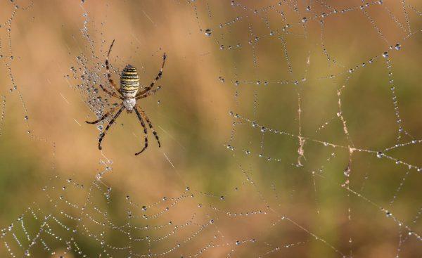 Chi ha paura dei ragni? Il ragno attende la preda al centro della sua tela